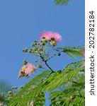 Small photo of silk tree albizzia