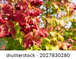 Red Berries Of Viburnum On A...