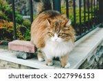 A Fluffy Cat Walks Along The...