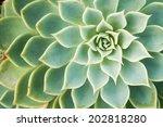 Kalanchoe   Rose Of Desert