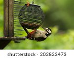 A Greater Spotted Woodpecker ...