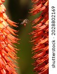 Bee Collecting Mountain Aloe...