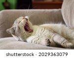 British Shorthair Tomcat With...