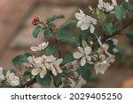 blooming apple tree branch....   Shutterstock . vector #2029405250