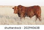 bonsmara bull standing in field ... | Shutterstock . vector #202940638