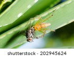 a lynx spider has caught a fly... | Shutterstock . vector #202945624