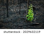 After A Forest Fire  Burnt...