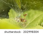 Small photo of Spider Agelena labyrinthica