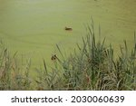 Ducks Swim In Overgrown Mud ...