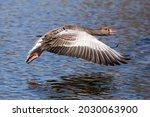 The Greylag Goose  Anser Anser...