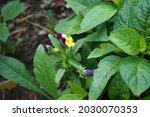 Viola Tricolor  Wild Pansy ...