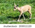Nubian Ibex Young Walking On...