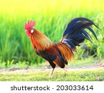 beautiful male rooster on... | Shutterstock . vector #203033614