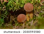 Two Young Bolete Fungus...