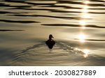 The silhouette of duck in a...