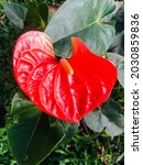 Small photo of Beautiful red color anthurium flower