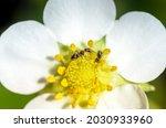 White Petals Of Strawberry...