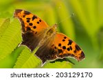 Question Mark Butterfly Perche...