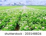 Potato Flowers In Bright...
