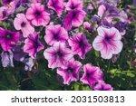 Colorful Petunia Flowers Close...