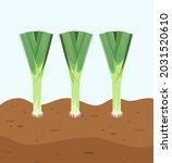 leeks in the garden. a ripe... | Shutterstock .eps vector #2031520610