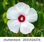 Hibiscus  Malvaceae  Hibiscus...