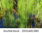 Young Plants Of Equisetum  Also ...