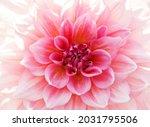 Close Up Of Pink Dahlia Flower...