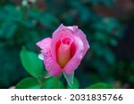 Beautiful Pink Rose Blooming In ...