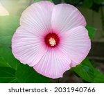 Hibiscus Marsh Pink  Beautiful...