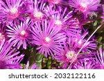 Array Of Purple Iceplant...