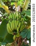 Bunch Of Young Bananas Hanging...