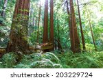 Picture Of Coastal Redwood...