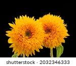 Pair Of Yellow Orange Sunflower ...