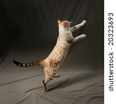 Stock photo portrait of snow spotted bengal cat jumping 20323693