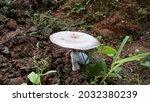 Mushroom Fungi Basidiomycota...