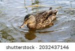 Female Mallard Wild Duck...