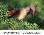 A Close Up Of A Female Cardinal