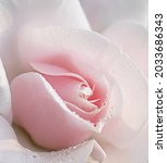 White And Pink Garden Rose...