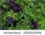 Purple And Green Basil...