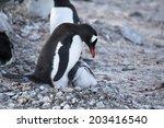 gentoo penguin with baby ronge... | Shutterstock . vector #203416540