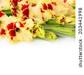 Beautiful fresh red and yellow gladiolus isolated \ close up \ square - stock photo