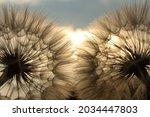 Soft Focus .fluffy Dandelion...