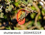 Bright Red And Orange Seedpod...