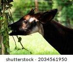 Okapi Eating A Leaves And Twigs....