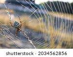 Argiope Spider Spinning Its...