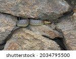 The Aesculapian Snake  Zamenis...
