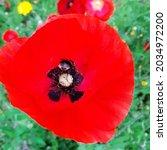 Bumblebee Feeding On Red Poppy...