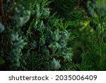 Coniferous Branches. Berries ...