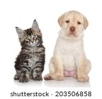 Stock photo maine coon kitten and labrador puppy portrait on white background 203506858